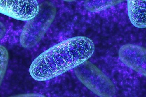 Μιτοχόνδρια: Τα εργοστάσια παραγωγής ενέργειας του σώματος μας